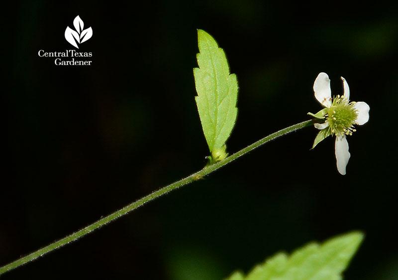 white aven geum canadense flower