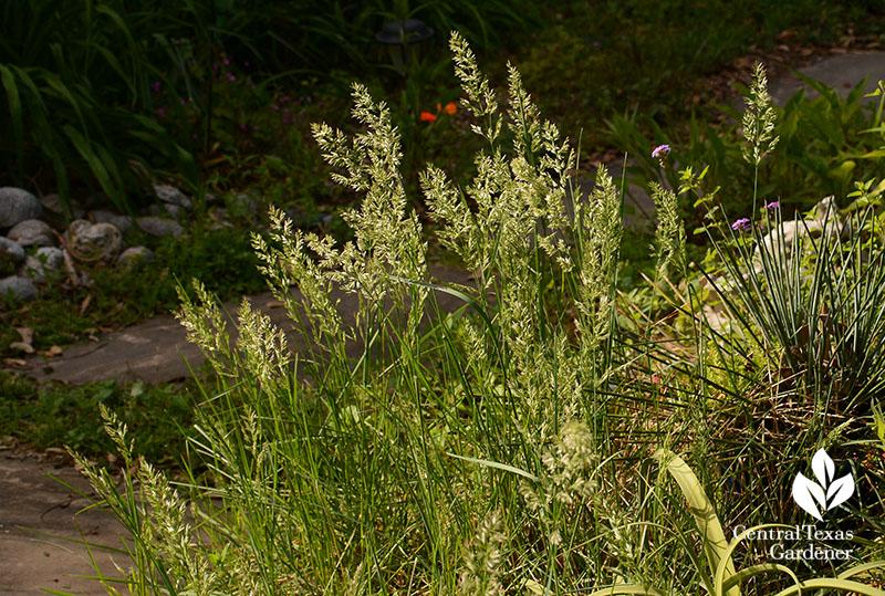 Texas bluegrass Poa arachnifera Central Texas Gardener