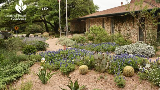 Wildflowers-and-drought-design-Rollingwood-City-Hall-Central-Texas-Gardener-