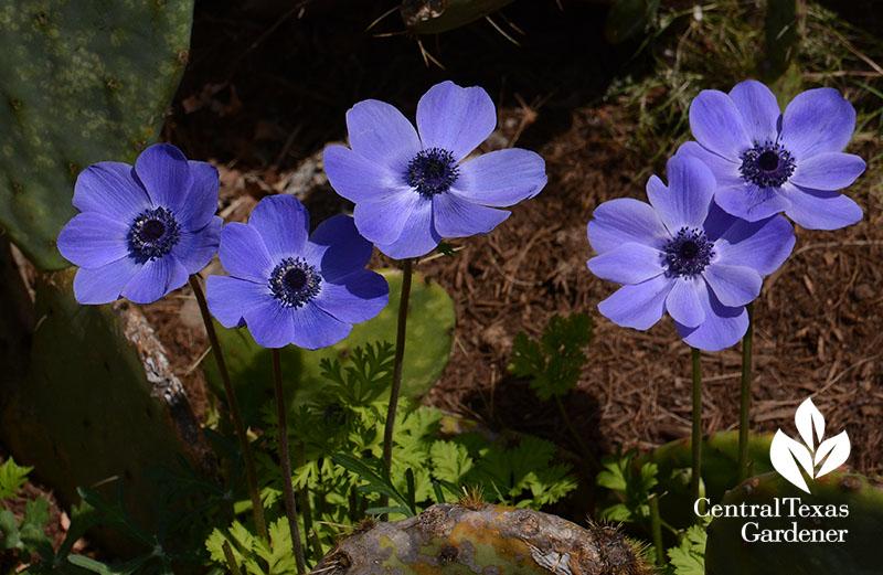 blue anemones Central Texas Gardener