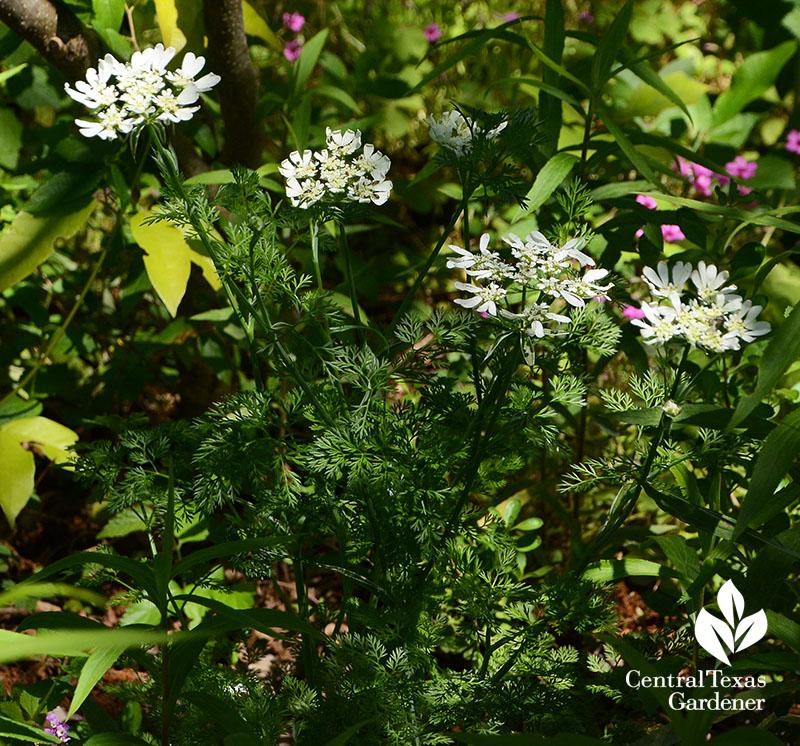 Orlaya grandiflora annual Central Texas Gardener