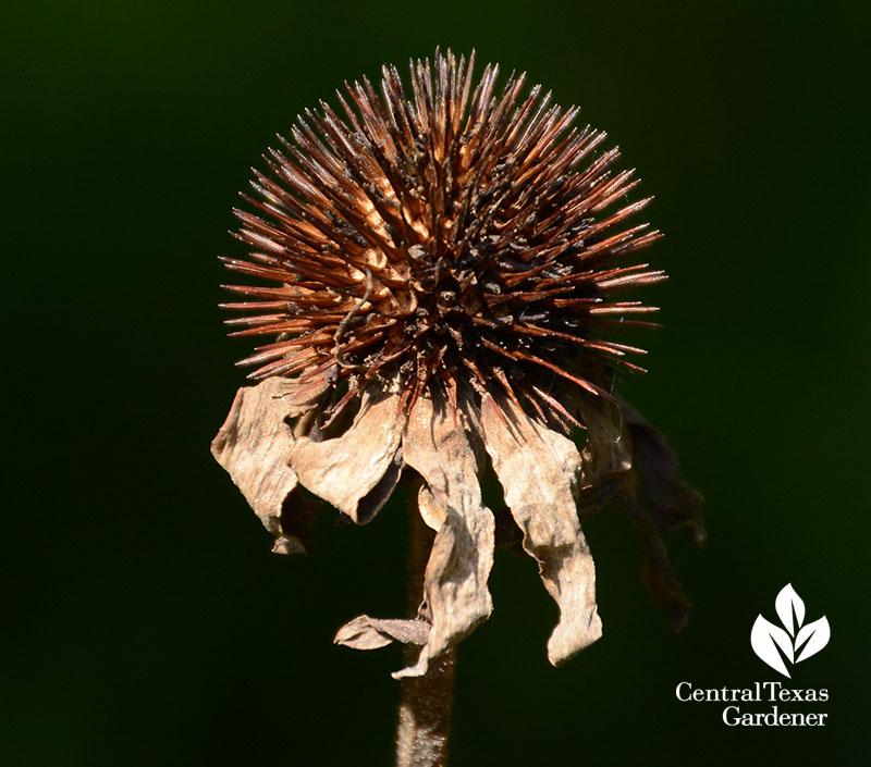 Coneflower seed heads for little birds Central Texas Gardener