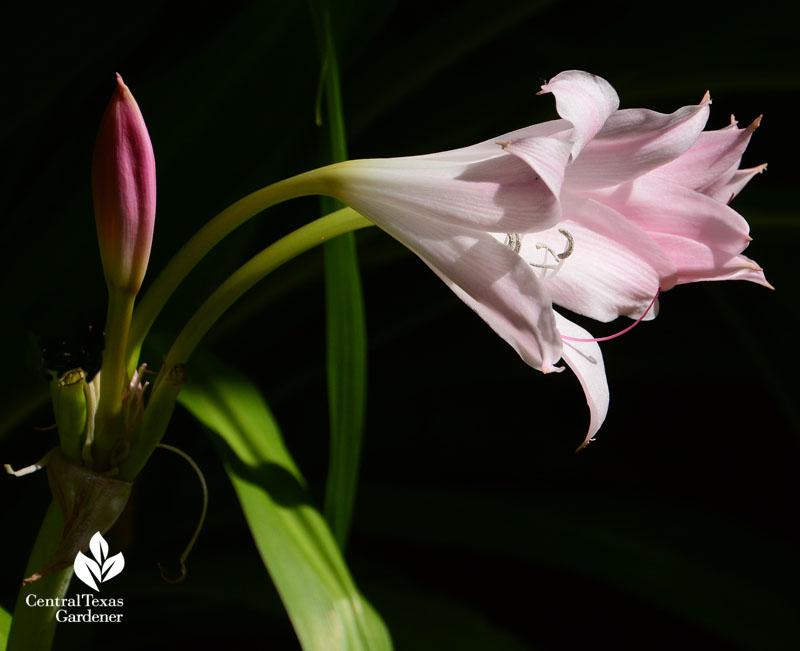 Pink crinum lily Central Texas Gardener