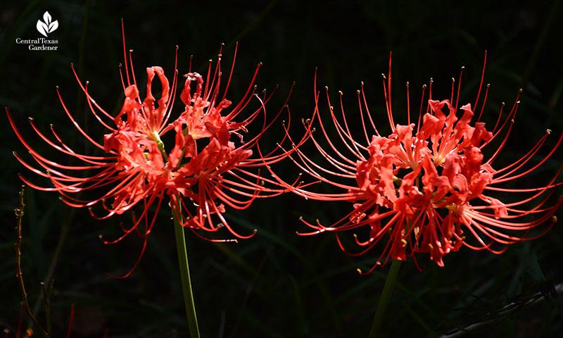 Lycoris radiata Central Texas Gardener