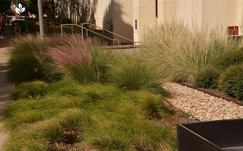 Rain garden sedges Lindheimer muhly Gulf muhly UT Austin Central Texas Gardener