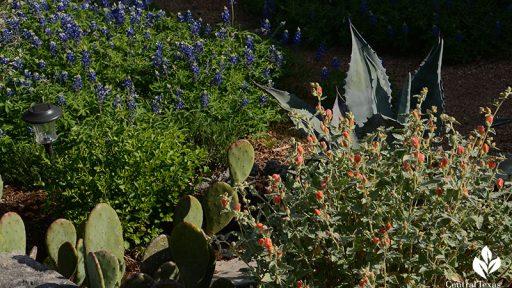 bluebonnets, desert globe mallow, agave, prickly pear deer resistant design Central Texas Gardener