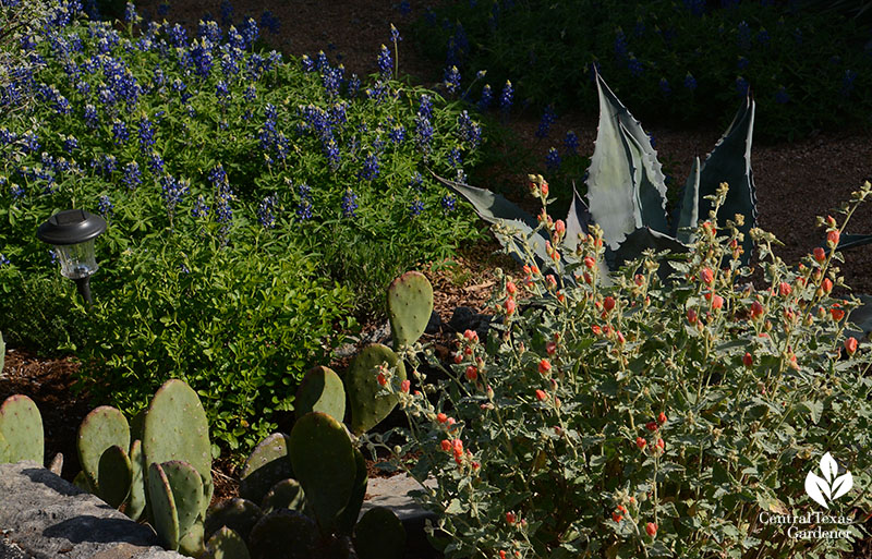 bluebonnets, desert globe mallow, agave, prickly pear deer resistant design Central Texas Gardener