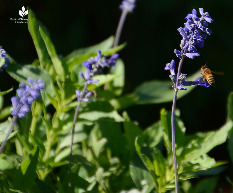 Bee on Salvia farinacea mealy blue sage Central Texas Gardener