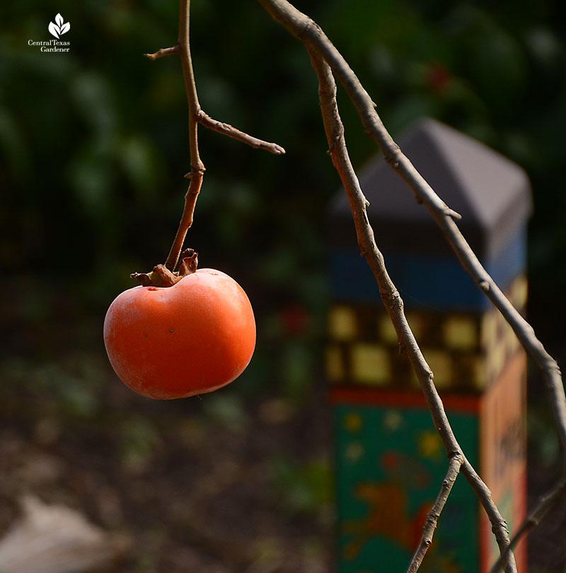 Japanese  or Asian persimmon Central Texas Gardener