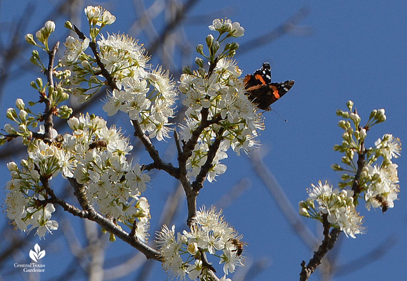 Red Admiral butterfly and bee on Mexican plum flowers