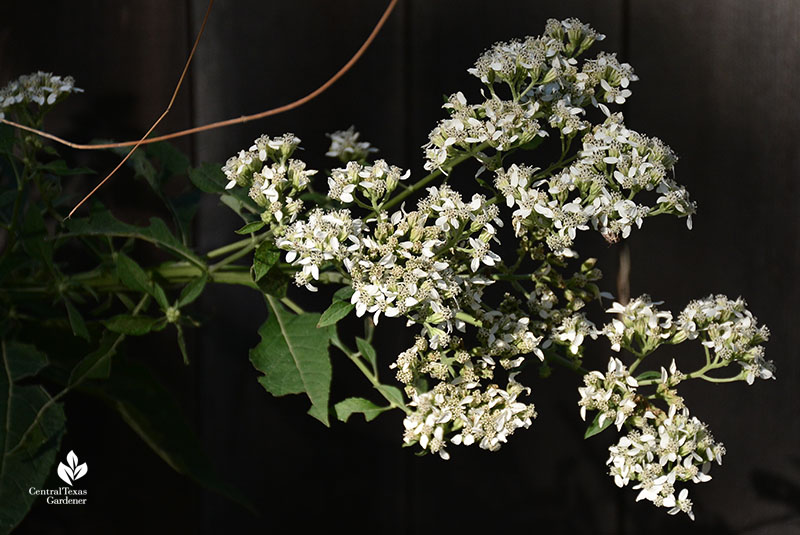 native frostweed flowers Verbesina virginica Central Texas Gardener