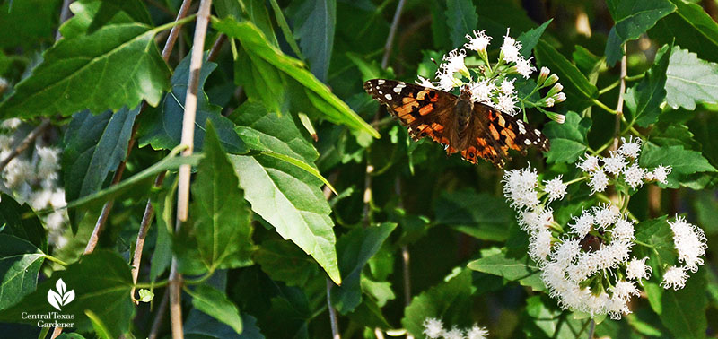 Painted Lady butterfly shrubby boneset native plant Central Texas Gardener