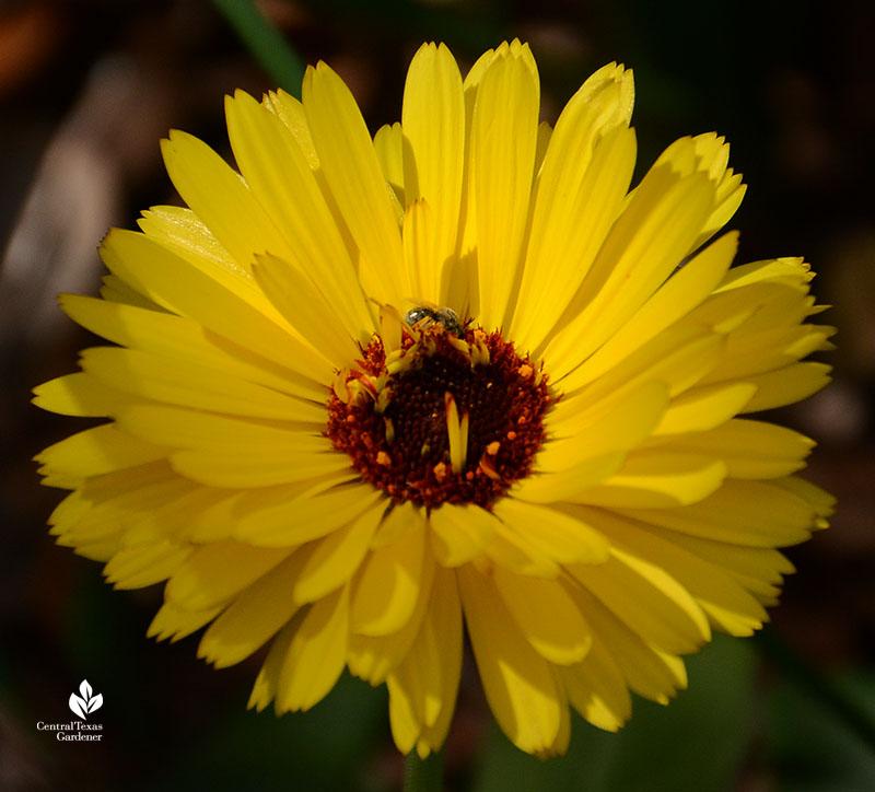 hoverfly calendula