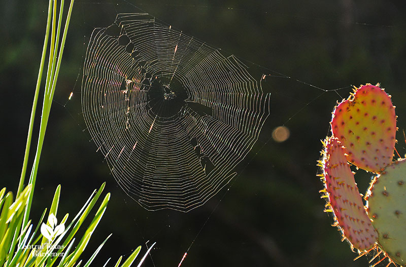 spider web between prickly pear and allium Central Texas Gardener