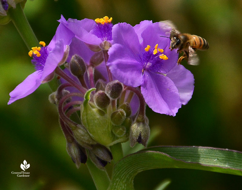 Bee on native spiderwort Central Texas Gardener