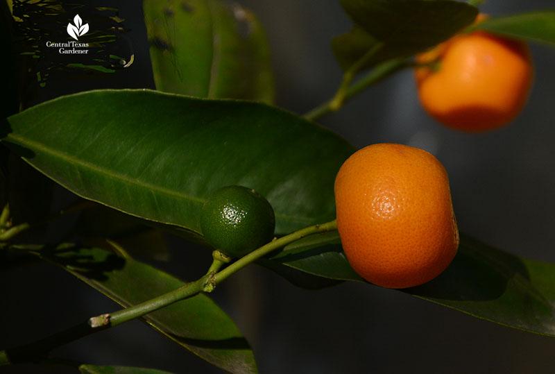 Calamondin orange ripe and green fruits Central Texas Gardener