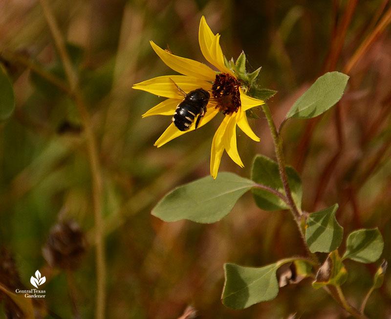 bumblebee on sunflower Half Pint Prairie UT Central Texas Gardener