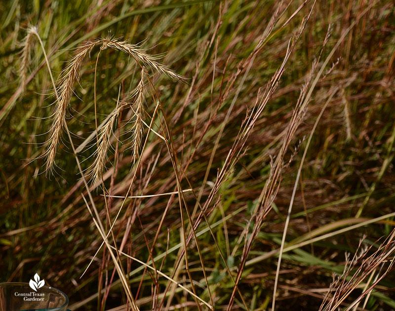 prairie wildrye and little bluestem Blackland Prairie Half-Pint Urban Prairie Central Texas Gardener