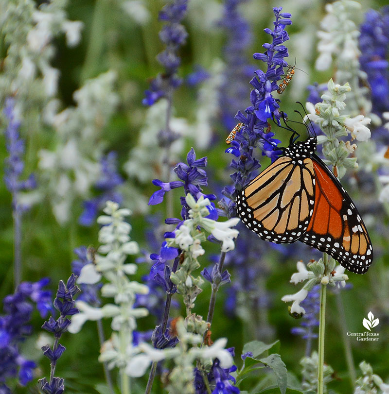 Monarch butterfly on Salvia farinacea 'Henry Duelberg' Central Texas Gardener