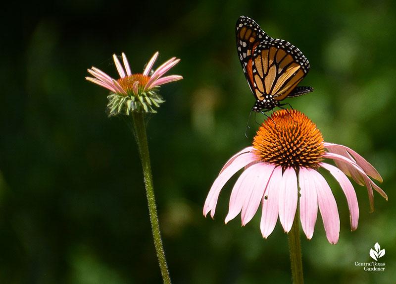 Monarch butterfly on native coneflower Central Texas Gardener