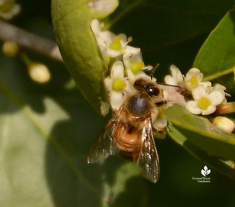 bee on yaupon holly flower Central Texas Gardener