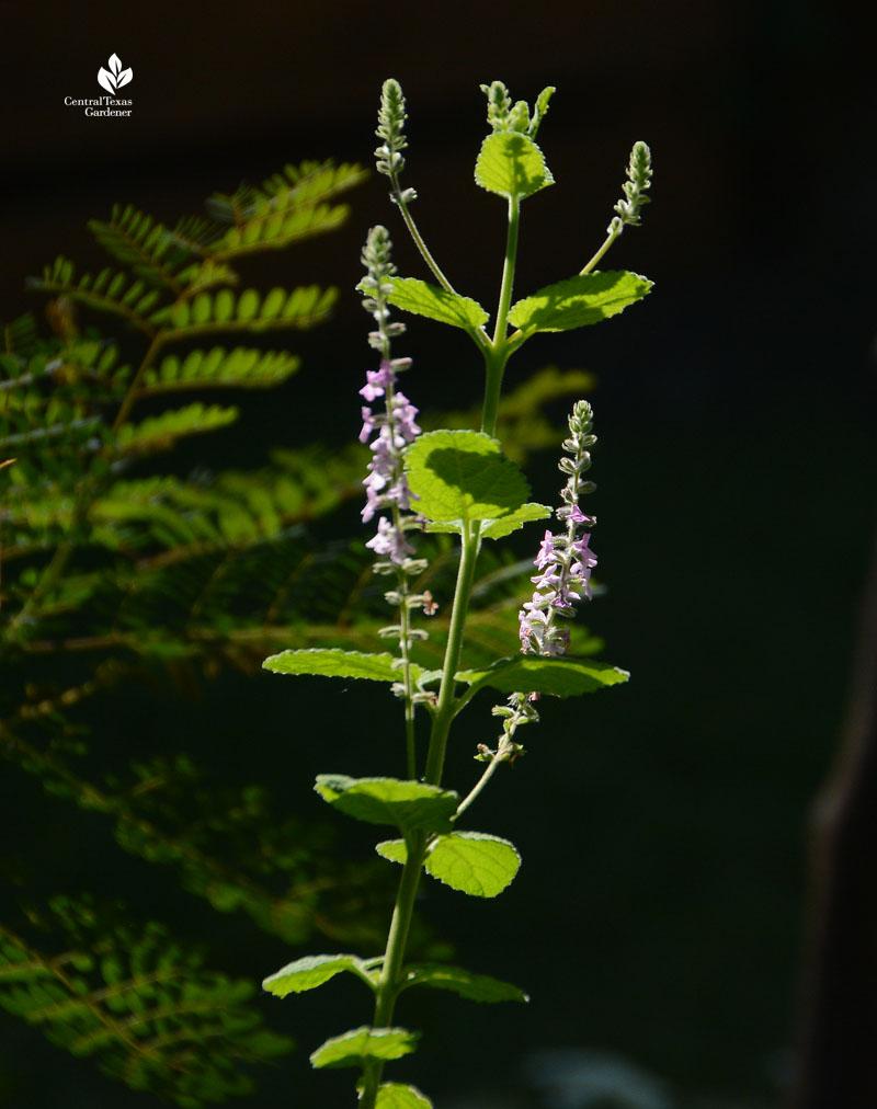 Aloysia macrostachya Central Texas Gardener