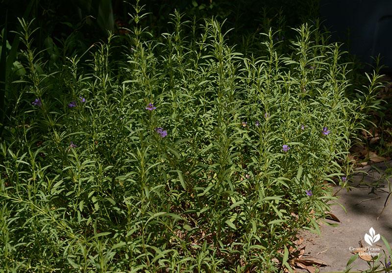 Native snake herb groundcover Central Texas Gardener