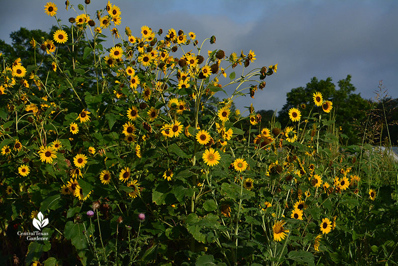 Sunflowers for pollinators and birds Central Texas Gardener
