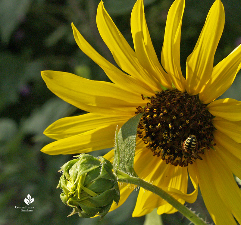 Carder bee on sunflower