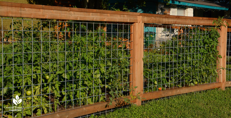 Cattle panel and wood front yard fence for tomatoes Central Texas Gardener