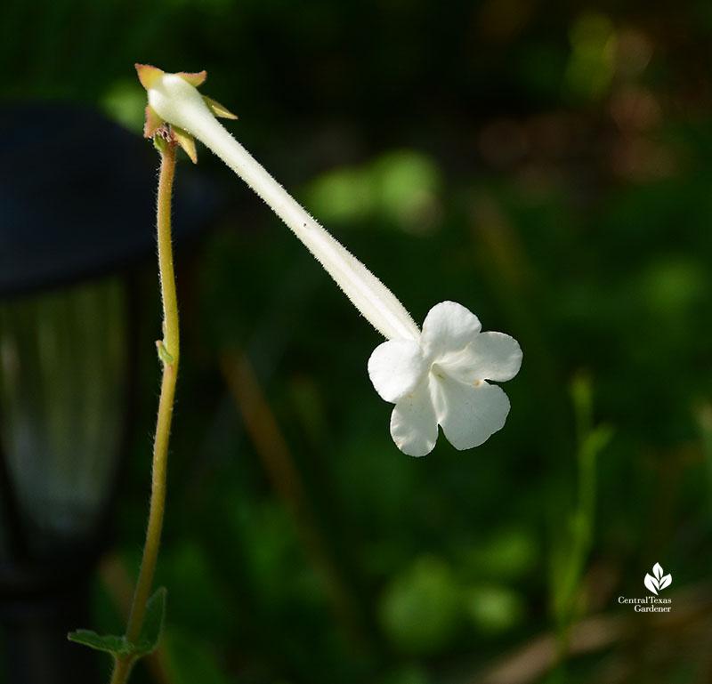 Hardy White Gloxinia Sinningia tubiflora flower shady Austin garden