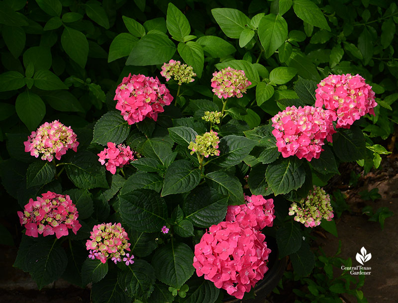 Endless Summer Summer Crush hydrangea in container