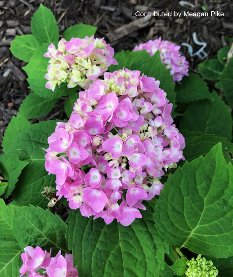 Hydrangea Endless Summer by Meagan Pike for Central Texas Gardener