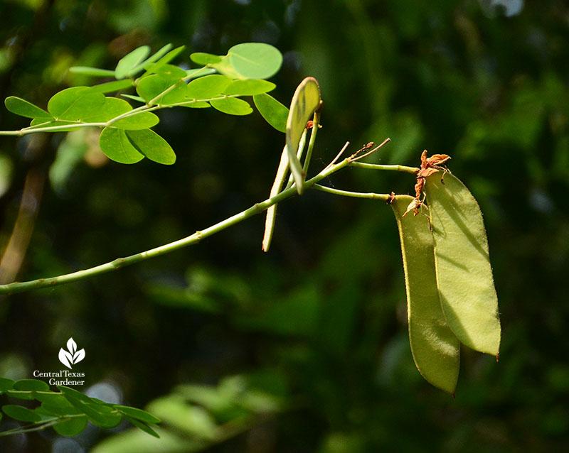Mexican Bird of Paradise seed pod Central Texas Gardener
