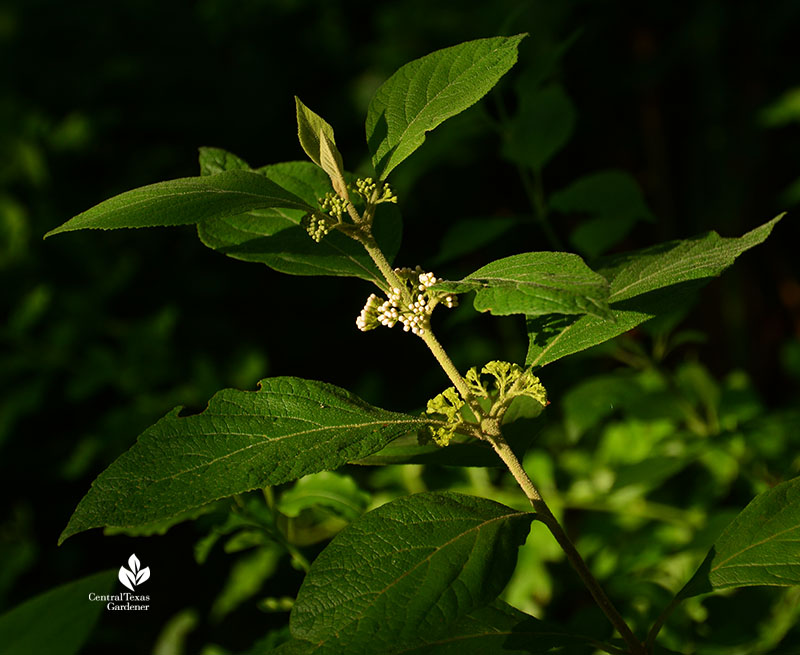 Mexican beautyberry flower buds small tree for part shade