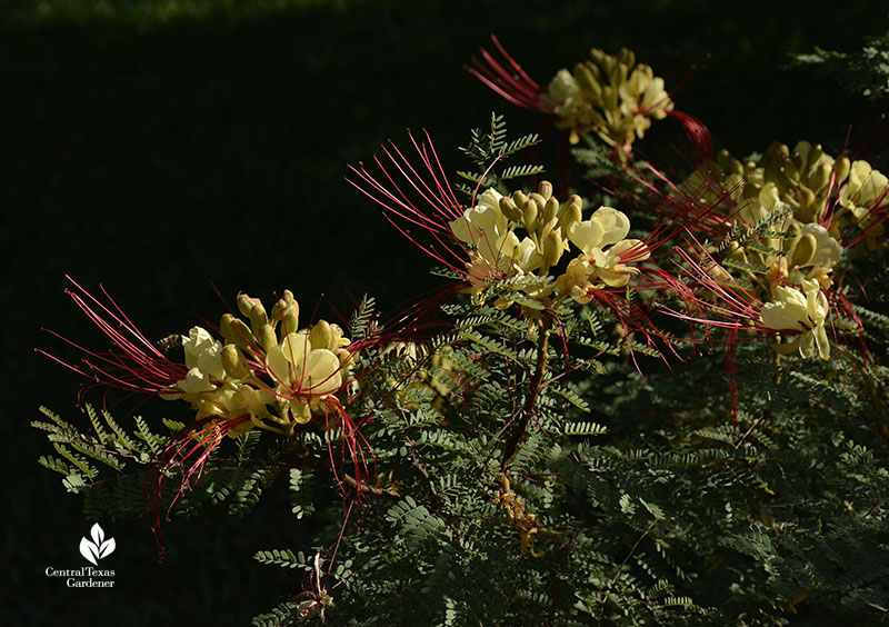 Yellow Bird of Paradise Caesalpinia gillesii flowers Central Texas Gardener