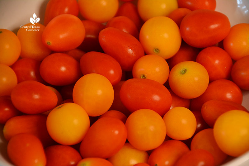homegrown tomatoes Central Texas Gardener