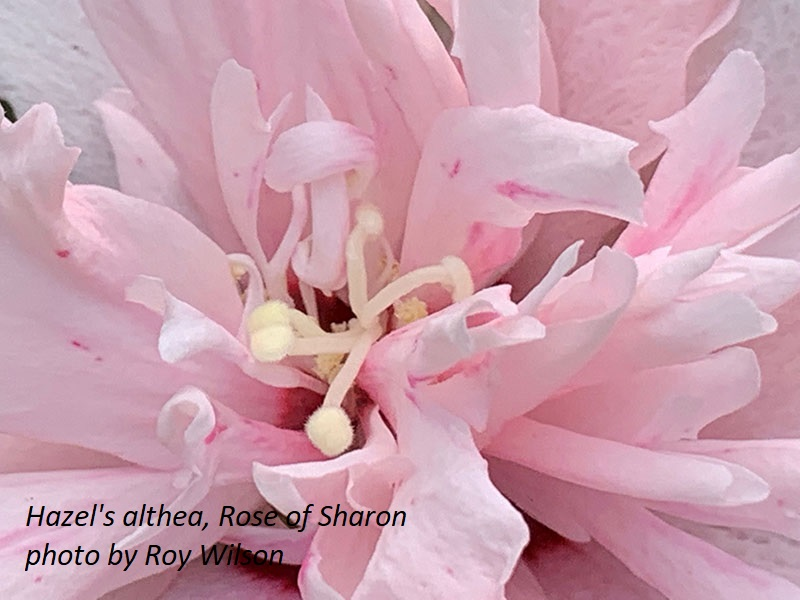 Althea, Rose of Sharon by Roy Wilson Central Texas Gardener