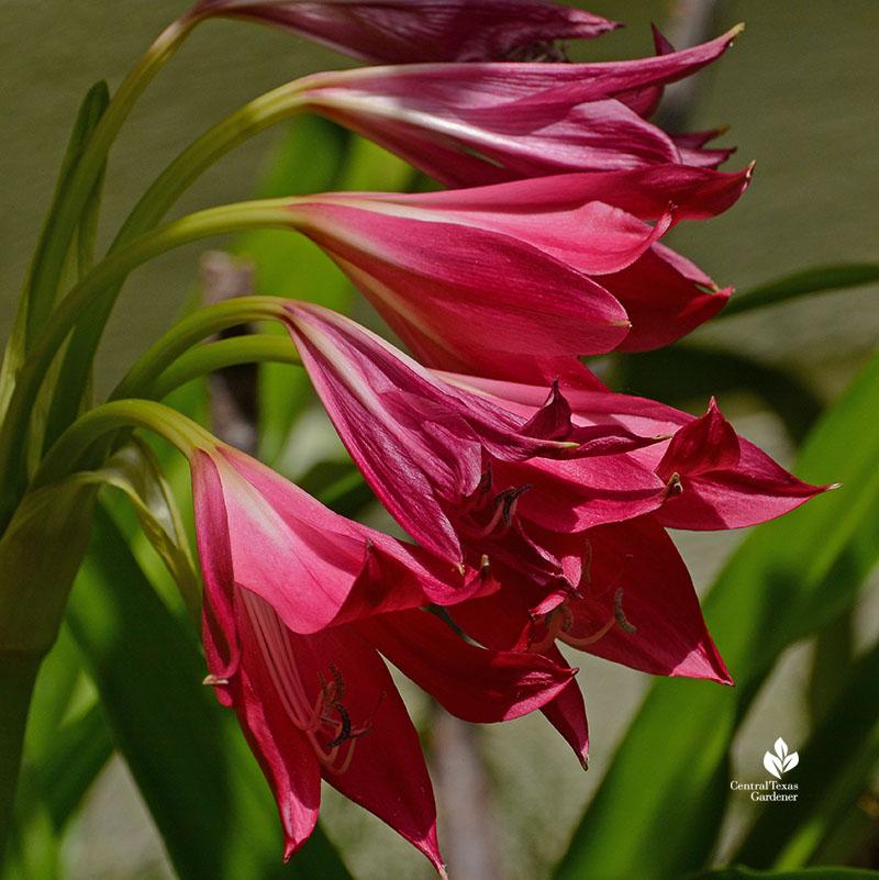 Crinum Ellen Bosanquet Central Texas Gardener
