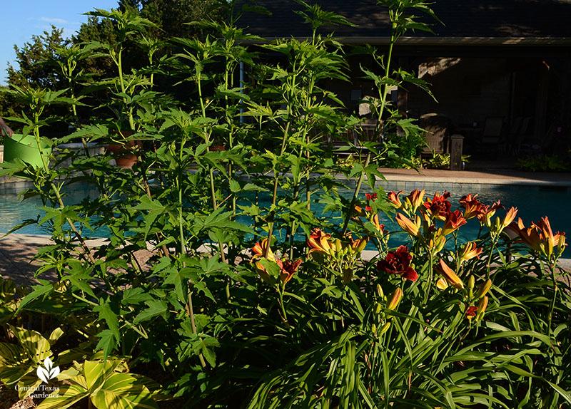 Hibiscus coccineus and daylilys Austin garden Central Texas Gardener