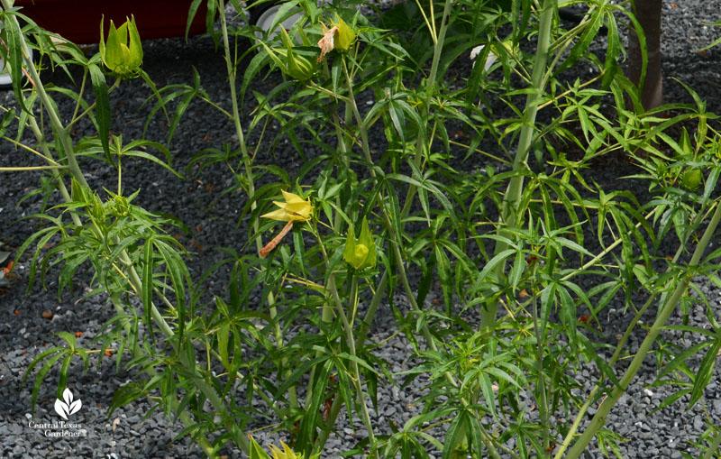 Hibiscus coccineus leaves Central Texas Gardener