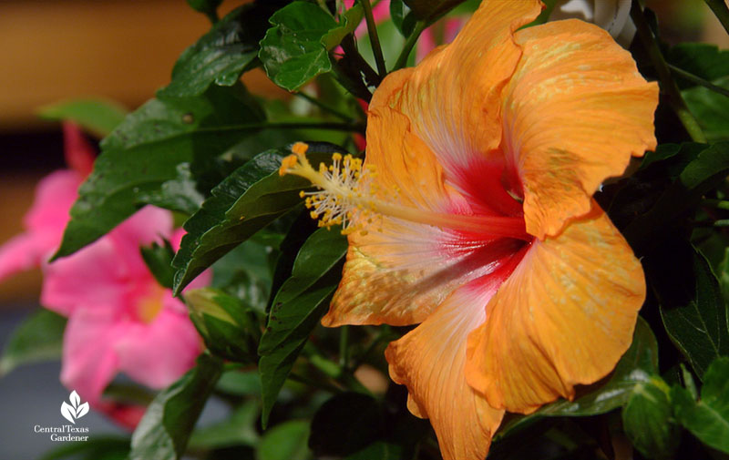 How to Fertilize tropical hibiscus Central Texas Gardener