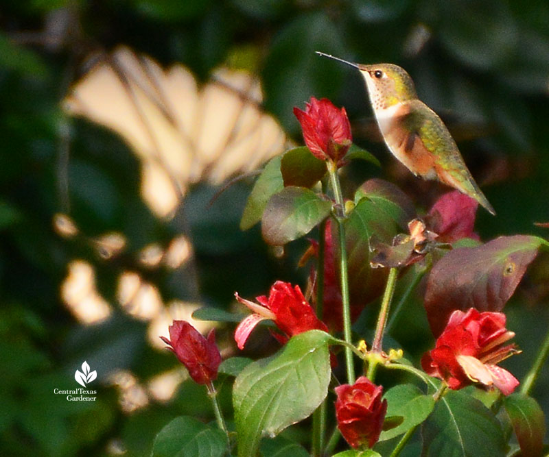 Hummingbird on shrimp plant in winter San Marcos Dawn Houser garden