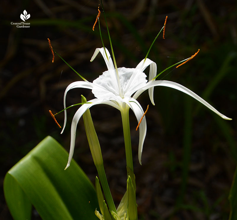 Hymenocallis Tropical Giant Central Texas Gardener