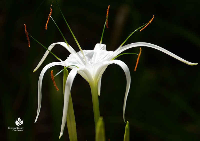 Hymenocallis Tropical Giant summer flowering bulb Central Texas Gardener