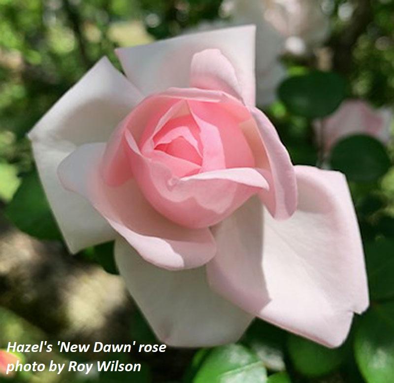 New Dawn rose photo by Roy Wilson Central Texas Gardener