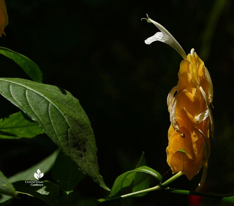 Pachystachys lutea golden shrimp plant bracts and flowers Central Texas Gardener