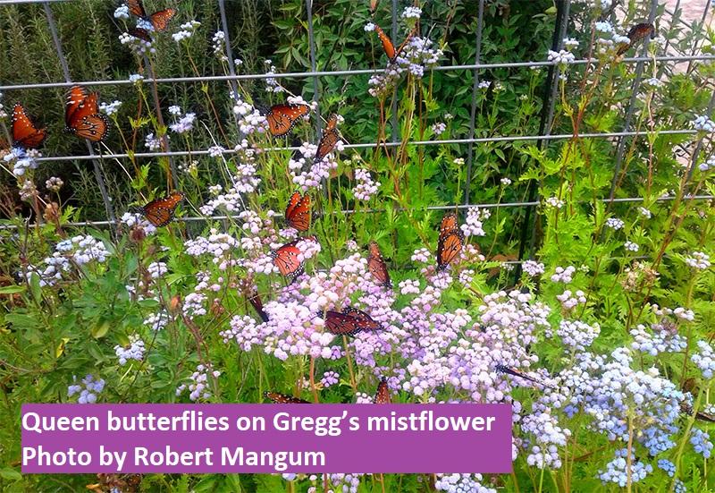 Queen butterflies on Gregg's mistflower by Robert Mangum Central Texas Gardener