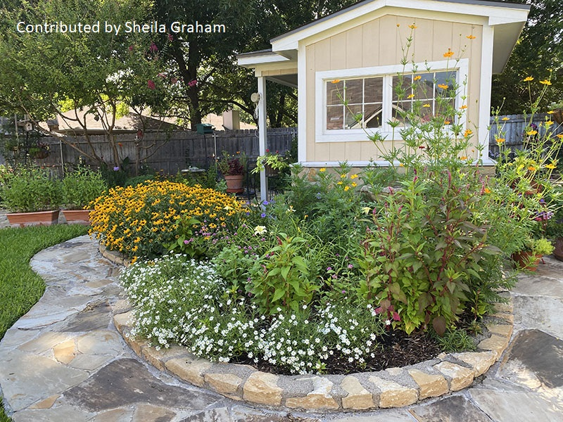Rudbeckia blackfoot daisy cosmos raised bed cute shed Sheila Graham garden Central Texas Gardener