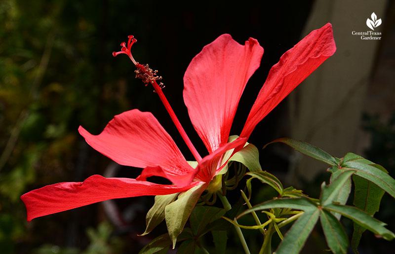 Texas Star hibiscus Central Texas Gardener